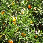 Naranjo en Valencia